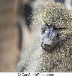 Head view of Anubus baboon in Tarangire National Park,...