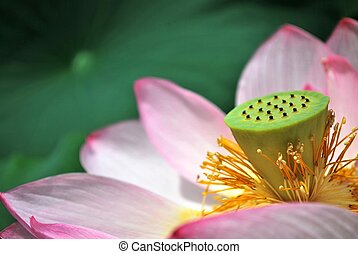 Symbol of buddhism and religion - Lotus flower in full...