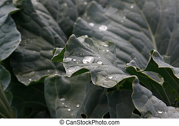Drops of water on the leaves of cabbage