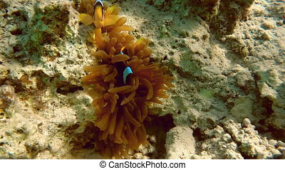 Clownfish shelters and anemone on coral reef in Red Sea -...