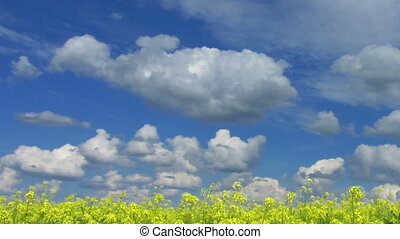 beautiful flowering rapeseed field under blue sky - pan timelapse
