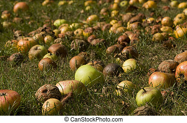 windfall - fallen fruit apples for harvesting in autumn