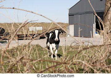single cow in front of farm sheds in its yard