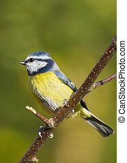 Bluetit (Parus caeruleus)  perched on a branch