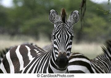 Burchell\'s zebra (Equus burchelli) - Close-up of a zebra...