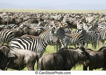 Burchell\'s zebra (Equus burchelli) - Zebra (Equus...