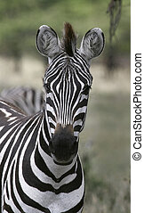 Burchell\'s zebra (Equus burchelli) - Close-up of a zebra...