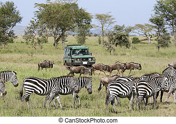 Viewing the migration - Car driving tourists to see the...
