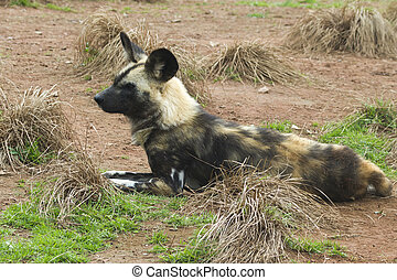 African painted wild dog (Lycaon pictus) closeup