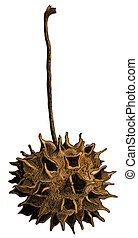 Sweetgum Ball Illustration - Botanical illustration of the...