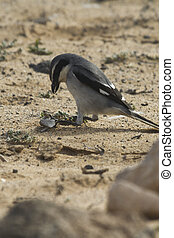 Southern Grey Shrike - Lanius meridionalis with prey