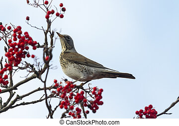 Fieldfare (Turdus pilaris) perched in a tree with red berrys...