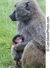 Mother and Baby Baboon in the wild
