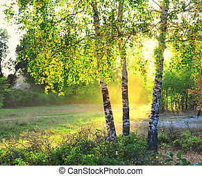 birch trees in a summer forest bright sunshine