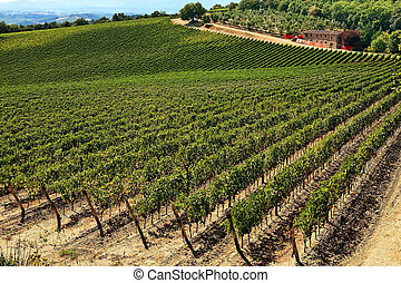 A vineyard at Chianti, Tuscany