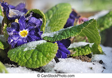 ice on flowers - pansies covered with frost in garden