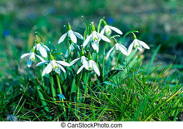 close up snowdrop flowers in spring