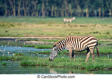 Zebra at watering place - Zebra is feeding near the lake in...