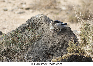 Southern Grey Shrike  (Lanius meridionalis) With a mouse