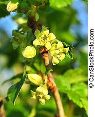 Little flowers of a currant in springtime - Spring little...