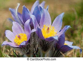 flower of pasqueflower - detail of flowering flower of...
