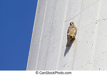 Kestrel perched on the side of a lighthouse