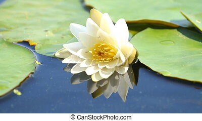 Water lily with green leaves on the lake