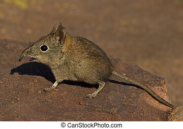 Elephant shrew on rock - Elephant Shrew on rock with open...