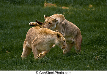 African Lionness - African Lionesses play fighting in the...
