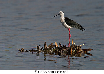 Black-winged Stilt in shallow water standing on small island