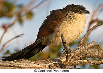 Burchell\'s Coucal on branch
