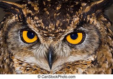 capa, águia, coruja, close-up