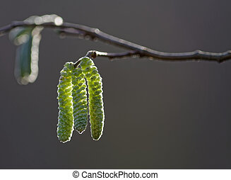 Catkin - Nature scene in a Selective focus on a backlit...