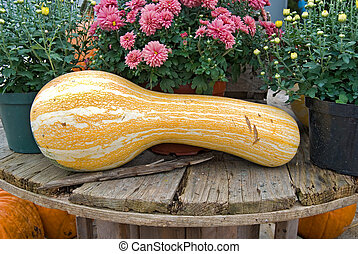 Gourd - Gigantic gourd with fall mum plants.