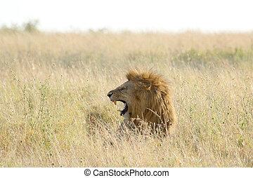 Wiese,  roars, Mann, löwe