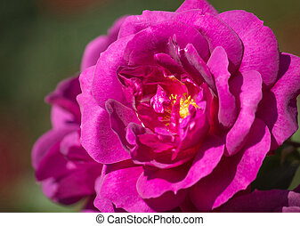 close up purple rose flower