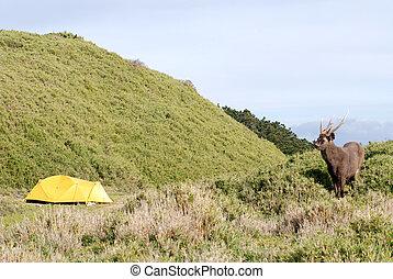 sambar and tent - Sambar deer come across the campsite...