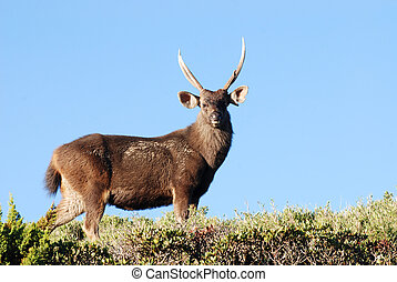 formosan sambar - Sambar deer stand on green grass Cervus...