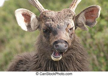 formosan sambar - Sambar deer anger and roar loudly Cervus...