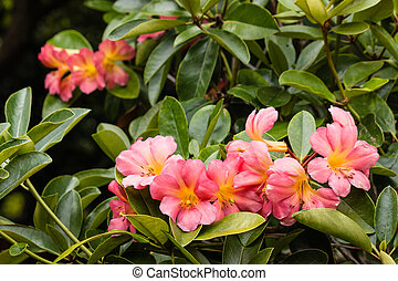 close up of pink rhododendron in bloom