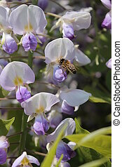 wasp pollinating wisteria flower - German wasp pollinating...