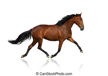 Bay trotter isolated on white - Bay horse trotting isolated...