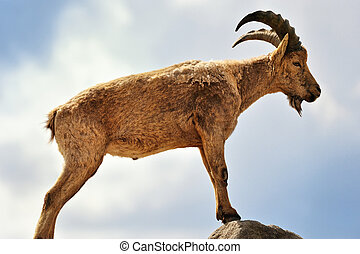 Mountain Goat - Young mountain goat standing on top of a...