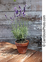 Lavender pot plant on wood table - Lavender plant pot plant...