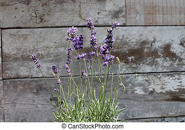 Lavender plant pot plant on table weathered wood texture