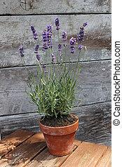 Lavender plant pot plant on table