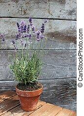 Lavender plant pot plant on table wood texture