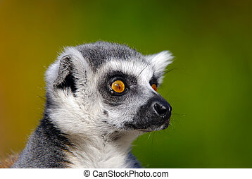 lemur catta - detail of ring tailed lemur catta staring...