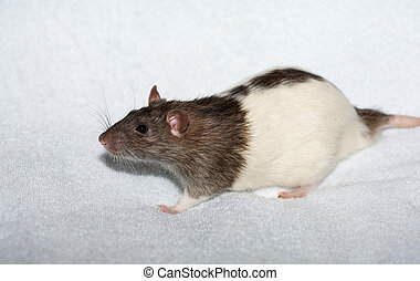 Piebald decorative rat on white towel