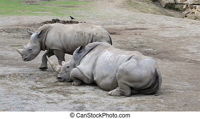 Cub Southern White Rhinoceros trying to wake his mother. -...